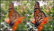 Focused and unfocused butterflies