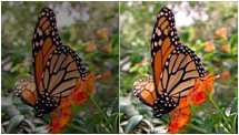 Dark and Focused butterflies